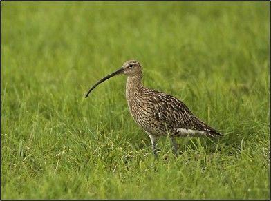 Brachvogel im Landschaftsschutzgebiet Freisinger Moos