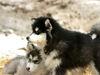 Schlittenhunde beim Husky und Pferdehof Dreisessel bei Neureichenau