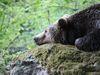 Bär auf einem Felsen im Tierfreigelände des Nationalparkzentrums Lusen bei Neuschönau