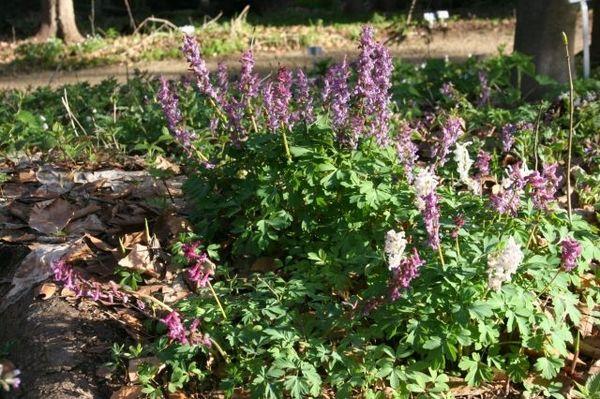 Lerchensporne im Pflanzen- und Gesteinsfreigelände im Nationalparkzentrum Lusen