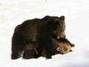 Bären im Tierfreigelände Nationalparkzentrum Lusen im Winter