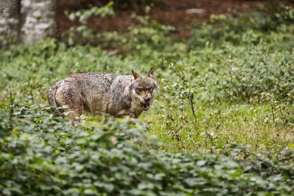 Wolf im Tierfreigelände Nationalpark Bayerischer Wald