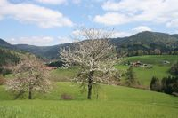 Kirschblüte am Obstbrennerweg