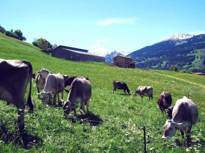 Die Kühe geniessen die Wiesen unterhalb vom Biohof