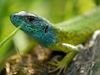 Farbenprächtig präsentiert sich die Smaragdeidechse im Naturschutzgebiet Donauleiten