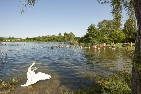 Schwan am Böhringer See