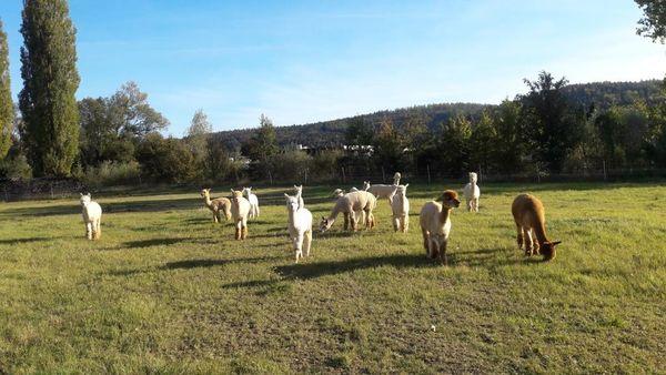 Alpakas bei Rangendingen