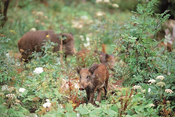 kleine Wildschweine im Freizeitopark Markwasen