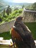 Auch der Falke genießt von der Burg Prunn den Blick ins Altmühltal.