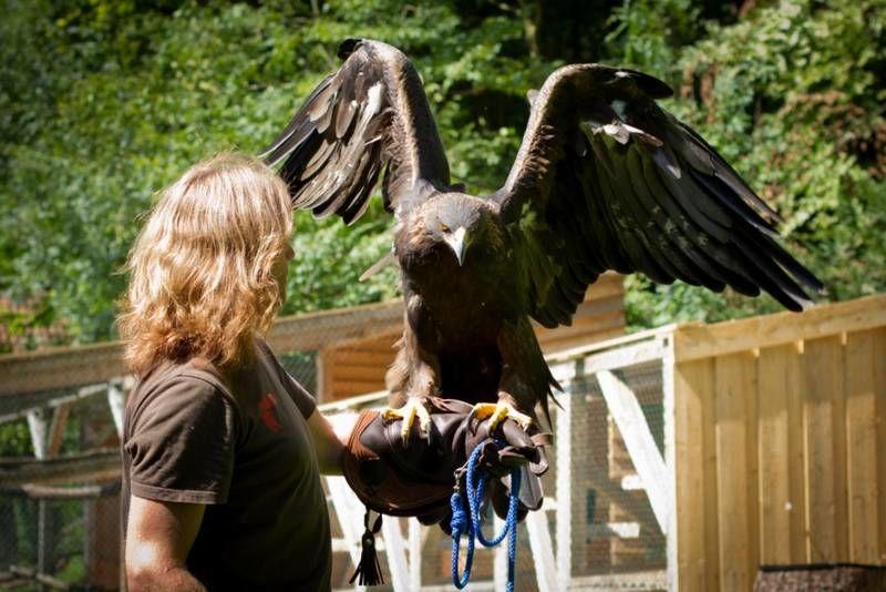 Falkner Martin Geißendörfer mit einem seiner Greifvögel