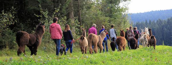 Alpaka- und Lamawanderungen im Bayerischen Wald
