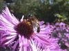 Biene auf Blüte im Kräutergarten bei Ringelai