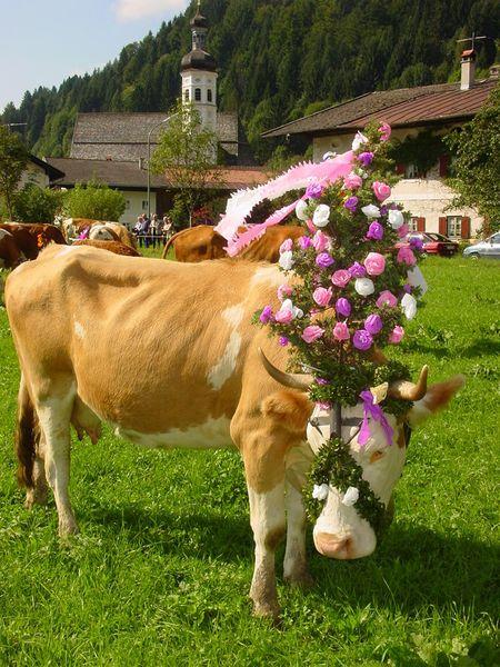 Festlich geschmücktes Rind mit Rosengesteck.