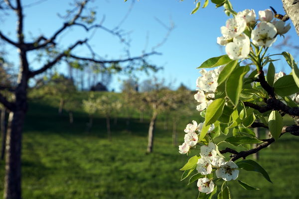 Samerberger Streuobstbäume im Frühjahr