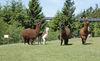 Bestaunen Sie Alpakas und viele weitere Tiere im WaldWipfelWeg St. Englmar - Maibrunn