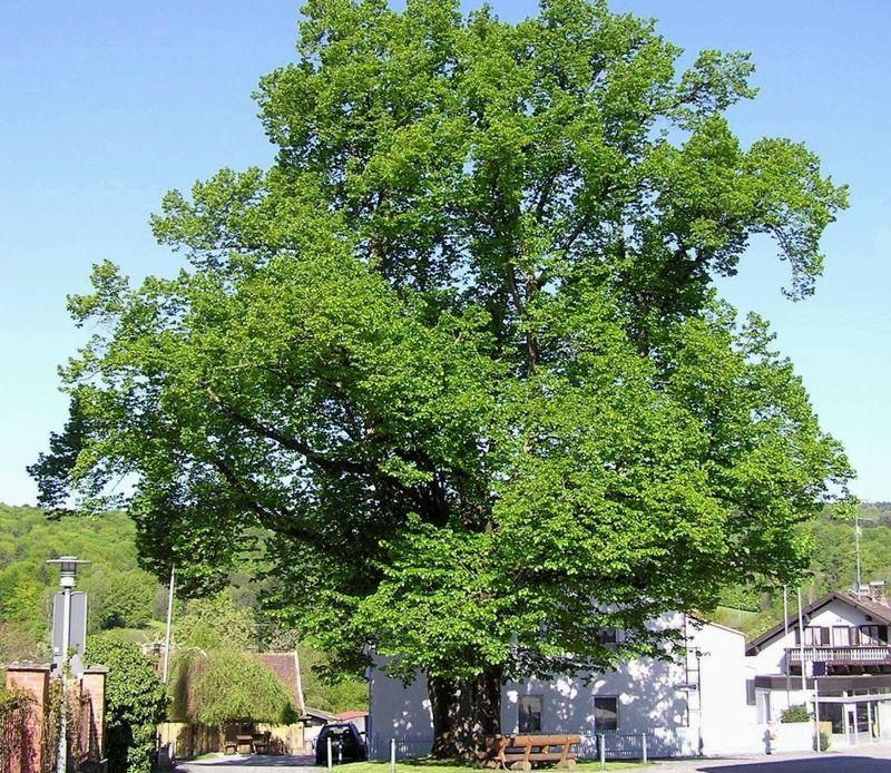 Blick auf das Naturdenkmal Linde in Schaufling im Bayerischen Wald