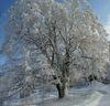 Winterlinde in der Region Sonnenwald im Bayerischen Wald