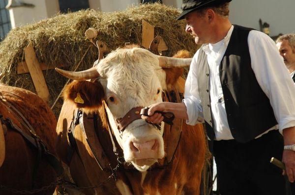 Ochsengespann beim Erntedankfest in Schönberg