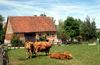 Limpurger Rinder vor dem Seldnerhaus im Hohenloher Dorf im Freilandmuseum in Wackershofen