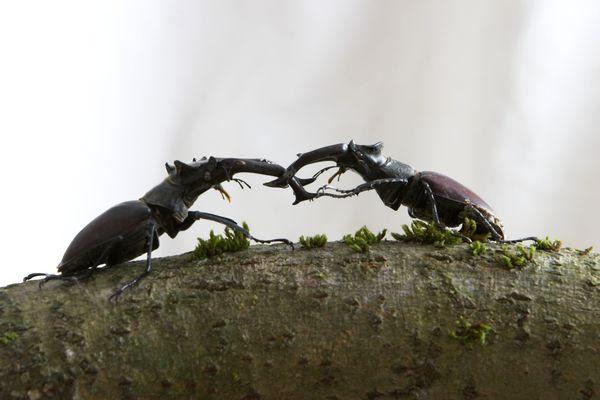 Käfer-Duell in der Käferausstellung in Spiegelau im Nationalpark Bayerischer Wald
