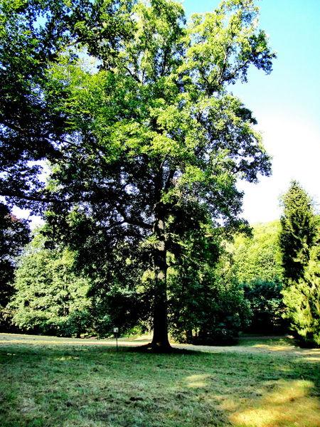 Tulpenbaum im Elstersteinpark