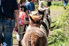 Wandern mit Alpakas