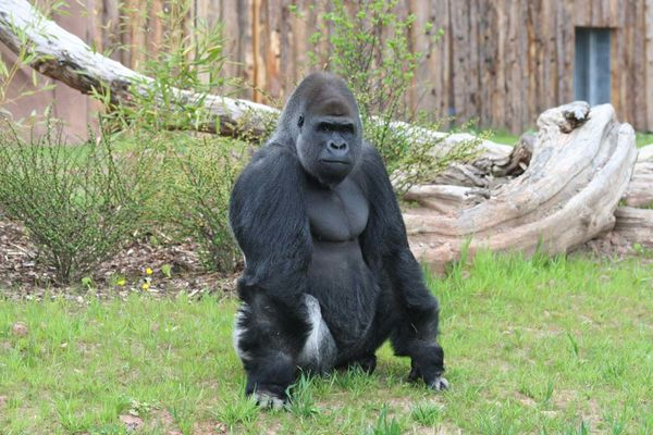 Gorilla im Saarbrücker Zoo
