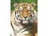 Blick ins Gesicht eines Tigers im Tiergarten Straubing