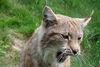 Luchs im Tierpark Suhl