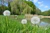 Pusteblumen im Trebnitzer Schlosspark, Foto: Franziska Mandel