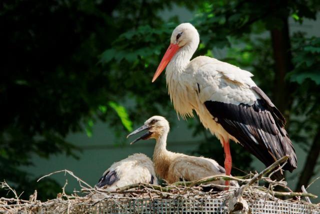 Storch mit Jungen
