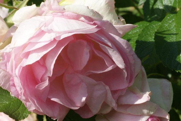 Rosenblüten mit herrlichem Duft