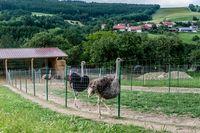 Straußenfarm in Außer-Ay