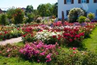 Rosen Sortiments Garten