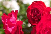 Rote Rosen im Sortimentsgarten