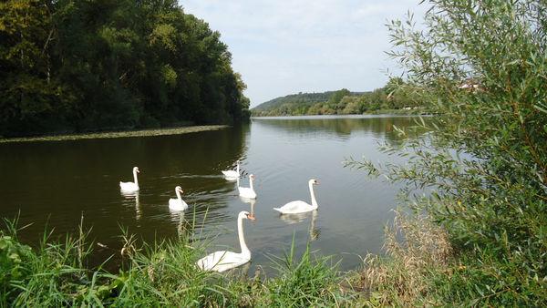 Schwäne in der Donau bei Windorf