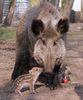Wildschwein mit Frischling, Foto: Xenia Kremer