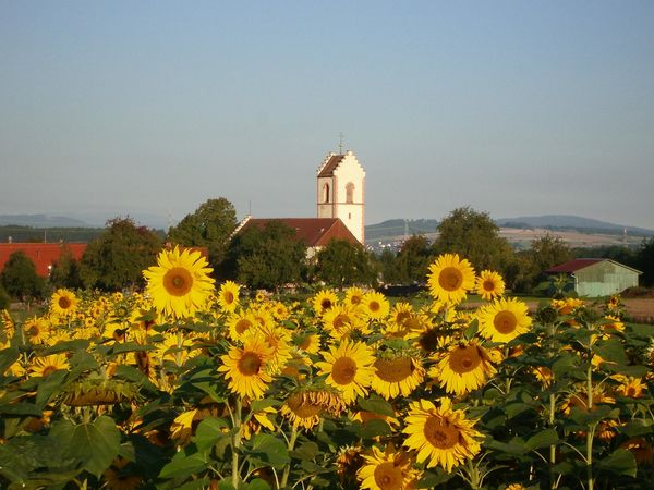 Sonnenblumenfeld bei Ewattingen, im Bildhintergrund St. Gallus Kirche