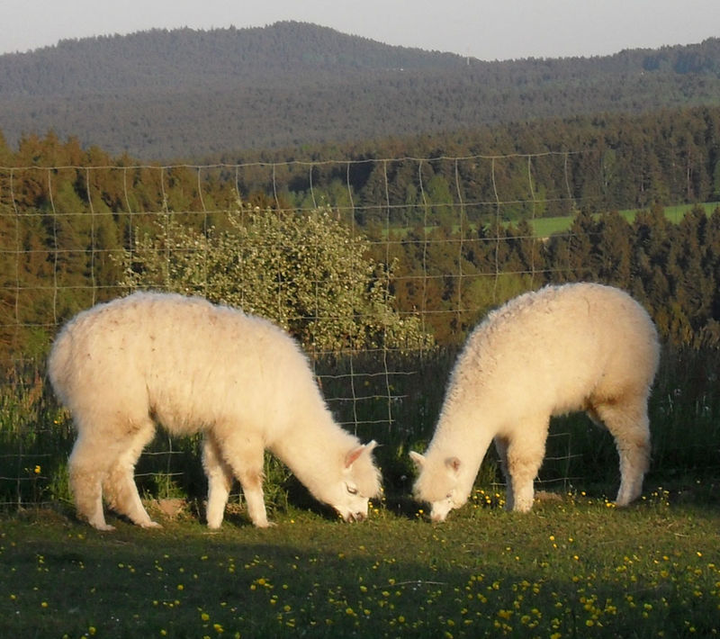 Der Alpakahof Grüne Au in Zandt