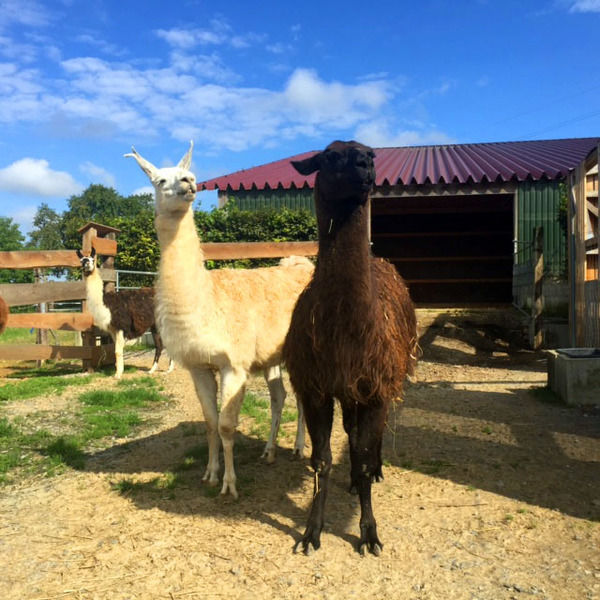 two llamas in the stable