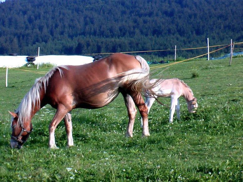 Pferde auf der Weide beim Familienbauernhof Wenzl in Bärnzell bei Zwiesel